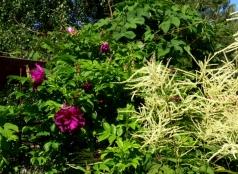 roseray